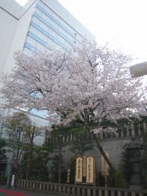 芝大明神の桜