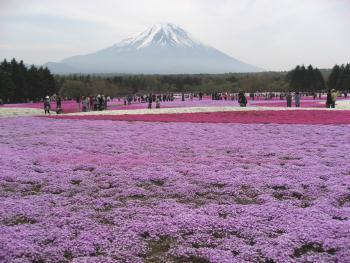 富士山をバックにみる芝桜