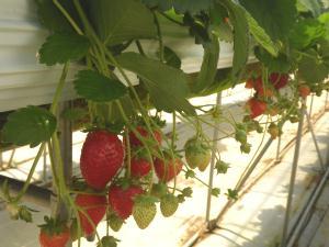 見事なイチゴだ
